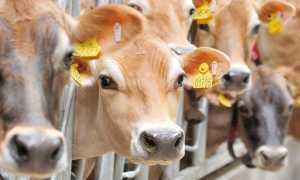 Как сделать кормушку для коров