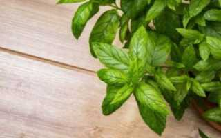 Как хранить мяту: приемлемые условия хранения свежей мяты в домашних условиях